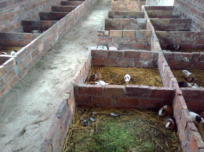 荷兰猪专业养殖场