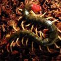 特色养殖动物上海优质蜈蚣图片