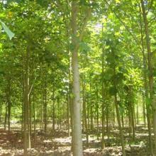 供应南京绿化苗木