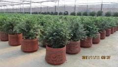 供应红豆杉移苗方法