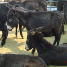 供应德州驴新疆驴