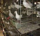 山东最大的肉鸽养殖场鲁山种鸽养殖图片