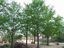 供应银杏及其他绿化苗木1
