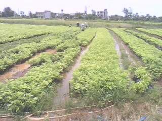 海南红豆图片