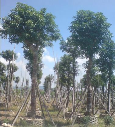 陈记绿化苗木