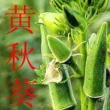 供应黄秋葵新鲜蔬菜