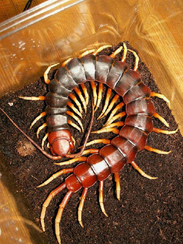 类似蜈蚣的动物图片