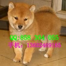 广州哪里有卖柴犬广州日本秋田犬多少钱批发
