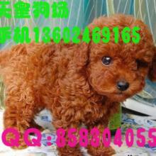 广州什么地方有卖小型犬泰迪熊广州哪里有卖泰迪熊广州纯种泰迪熊多少图片