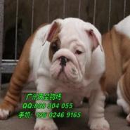 广州哪里有卖英国斗牛犬图片