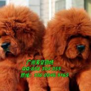 广州哪里有卖藏獒图片