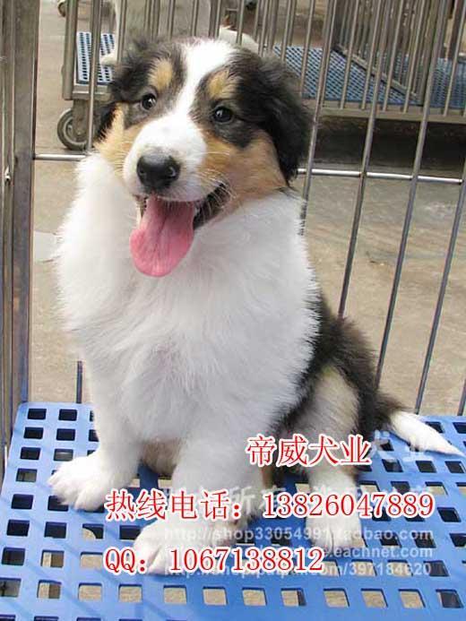 广州哪里有卖苏格兰牧羊犬价钱多少广州苏格兰牧羊犬幼犬...