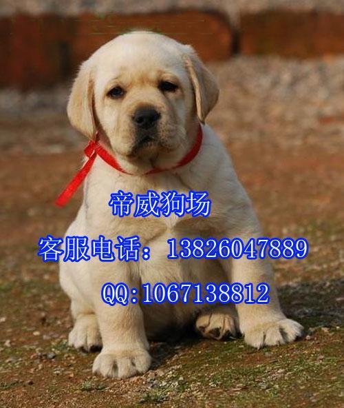 里有卖纯种拉不拉多黑白黄色导盲巡回猎犬拉布拉多猎犬价格 高清图片