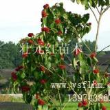 供应壮元红种子价格、壮元红种子批发