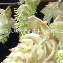 供應大果臘瓣花、大果臘瓣花種子、圖片