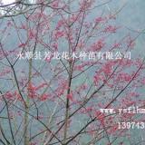 供应小果冬青︳小果冬青供应商电话:13974386340