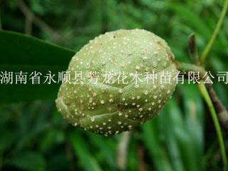 供应庭园观赏树种落叶木连︳落叶木莲种子供应商︳