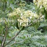 供应香果树︳香果树生产商