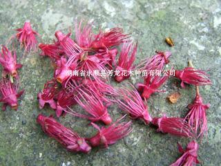 供应红色樱花苗木种子、樱花供应产家