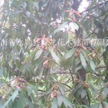供应野生红茴香