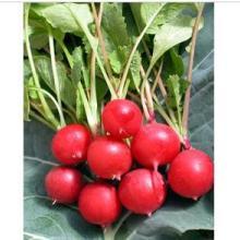 供应进口蔬菜种子批发,荷兰樱桃萝卜种子 奇山红郦F1荷兰进口樱桃萝卜图片