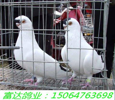 哪里有观赏鸽图片 哪里有观赏鸽样板图 哪里有观赏鸽 观赏-观赏鸽大图片