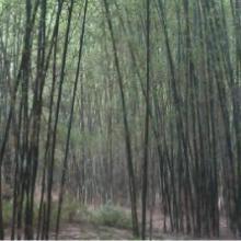 供应大量提供毛竹竹杆蒿竹批发
