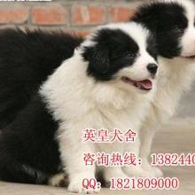 供应纯种边牧广州哪里有卖边牧狗,广州哪里有卖边境牧羊犬批发