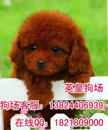茶杯_茶杯供货商_供应小茶杯贵宾狗广州哪里有在卖