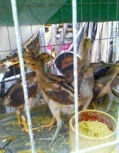昆明斗鸡养殖场图片