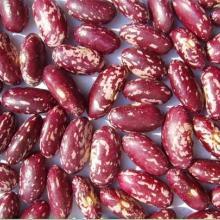 供应优质紫花芸豆