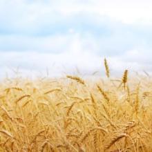供应东北小麦