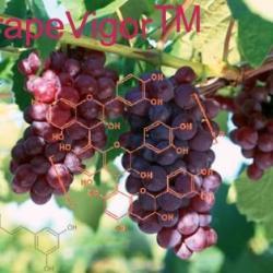 供應葡萄籽提取物原花青素OPC