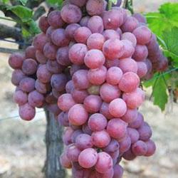 供應葡萄籽提取物/原花青素