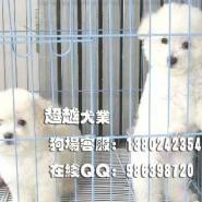 广州比熊幼犬比熊小狗广州出售法图片