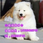 广州萨摩耶照片萨摩耶价格广州哪里图片