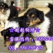 广州市哪里有卖苏格兰牧羊犬出售苏图片