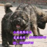 广州东莞高加索幼犬东莞高加索图片