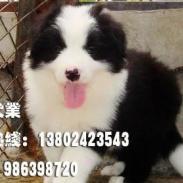 广州边境牧羊犬图片