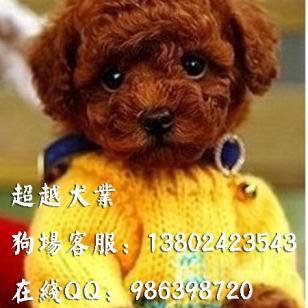 广州茶杯型贵宾犬出售纯种玩具体图片