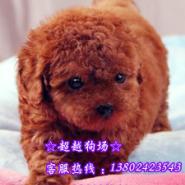 广州茶杯型贵宾犬玩具贵宾犬图片