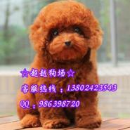 玩具型贵宾犬图片