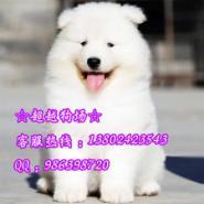 萨摩犬图片