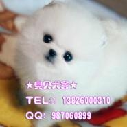 广州哪个狗场有卖博美犬广州博美图片