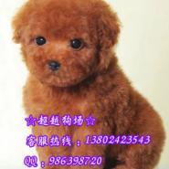 广州宠物狗玩具型泰迪熊茶杯型泰图片