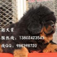 广州宠物狗广州卖狗的地方大狮头大图片