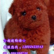 广州哪里卖贵宾犬玩具贵宾犬茶杯型图片