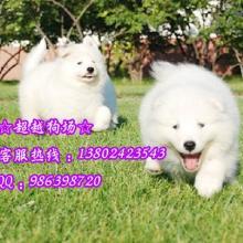 出售纯种萨摩耶幼犬纯白微笑天使萨摩正规狗场出售纯种萨摩耶幼犬纯白