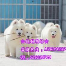 供应广州哪里有萨摩犬出售广州出售微笑天使萨摩耶-超级高贵美丽