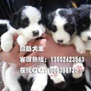广州哪里买牧羊犬广州超越犬业是最图片
